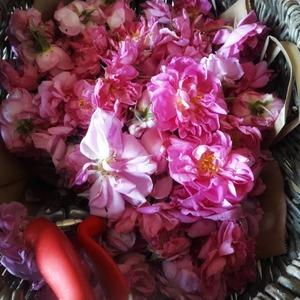 🌹🌹 Chaque matin nous cueillons nos roses de  mai bio à 1400 m d'altitude (rosa centifolia). Elles apporteront la touche florale idéale à notre Gin bio 🌹🌹 #rose #ginbio #gin #gintonic #frenchgin #artisanat #agriculturebio #distillerie #ubaye #purealpes #alambic